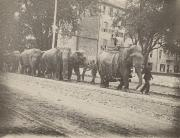 Elephants marching past East College, c.1890